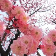 cherry_blossom_937